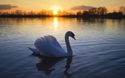 normal_mute_swan-wide